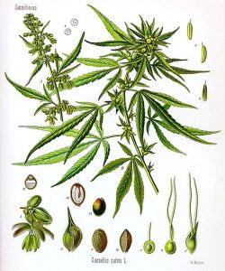 Cannabis_sativa_Koehler_drawing (1)